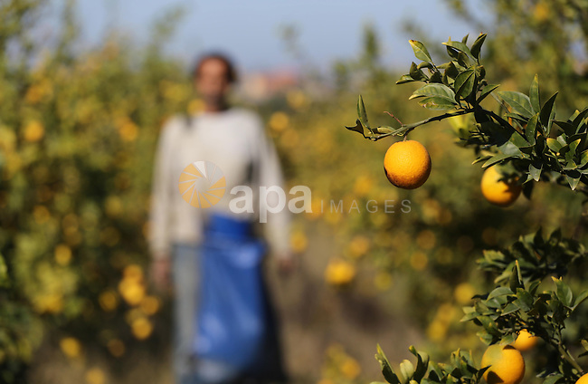 A Palestinian farmer collects citrus at farm during the annual harvesting season in Gaza city on December 11, 2016. Photo by Mohammed Asad