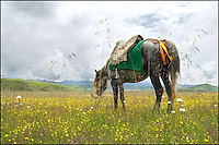A saddled Tibetan horse.