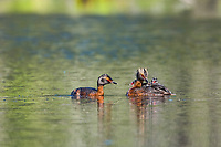 Horned Grebe adults feed a young chick a dragonfly in a small kettle pond, Fairbanks, Alaska