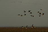 Groepen Kleine Rietganzen in Noorderleeg (Noord-Friesland Buitendijks) na springtij