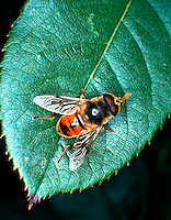 Drone fly on rose leaf.  Honey bee minic.  DIPTERA Syrphidae Eristalis tenax. Syrphid fly. insects. Utah USA Wasatch Front.