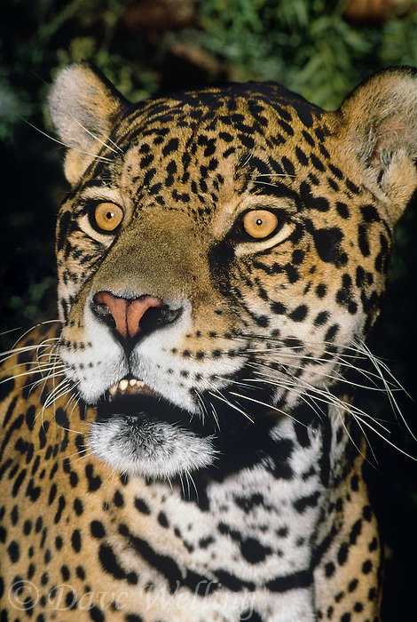 650359021 portrait of a wildlife rescue jaguar panthera onca at a wildlife rescue facility -species is highly endangered in its wild habitat in mexico central and south america - eric