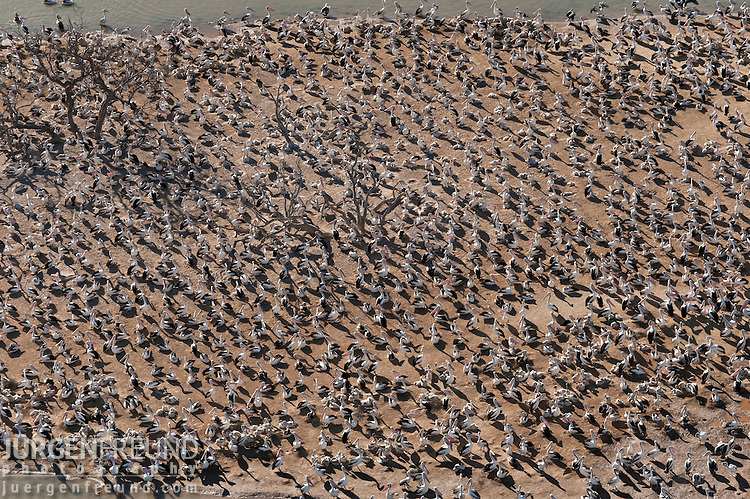Aerial - Australian Pelican (Pelecanus conspicillatus) breeding colonies on the islands of Lake Goyder within Coongie Lakes National Park