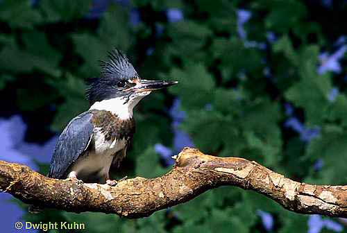 KG01-068x  Belted Kingfisher - male perched along stream  - Megaceryle alcyon