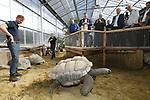 Foto: VidiPhoto<br /> <br /> RHENEN – De 31 Aldabra schildpadden van Ouwehands Dierenpark in Rhenen hebben een gloednieuw tropisch verblijf. Donderdag werd dat onder grote belangstelling geopend. Ouwehands heeft de grootste collectie reuzenschildpadden ter wereld.De Aldabra is de grootste landschildpad die er bestaat. Ze kunnen 170 kilo zwaar en 80 jaar oud worden. De oudste en bekendste schildpad van Ouwehands is Sjaak (41 jaar en ruim 100 kilo). Hij laat zich graag aaien door de verzorgers. In het verblijf is het constant 29 graden, met een hoge luchtvochtigheidsgraad. Aldabra schildpadden werden in de tijd van de VOC meegenomen als voedsel aan boord omdat ze bijna een jaar zonder voedsel en water kunnen.
