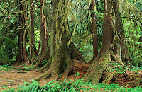 Nurse logs complete the life cycle in the Hoh Rain Forest  by providing nutrients and a root base for new trees.