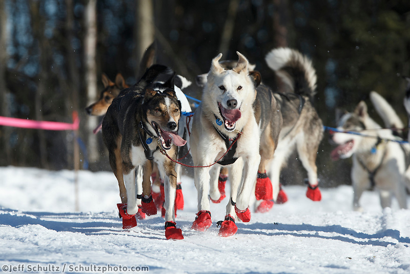 The dogs of Norwegian musher, Joar Leifseth Ulsom, move along the trail near the Alaska Native Center during the ceremonial start to Iditarod 2014 in Anchorage, Alaska.<br /> <br /> Iditarod Sled Dog Race 2014<br /> PHOTO (c) BY JEFF SCHULTZ/IditarodPhotos.com -- REPRODUCTION PROHIBITED WITHOUT PERMISSION