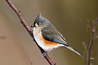 Tufted Titmouse, Parus bicolor