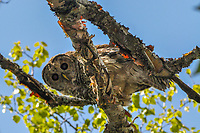 Barred Owl, Strix varia, perched in a Paper Birch in the Dix Moutain Wilderness, Area in the Adirondack Forest Preserve in New York