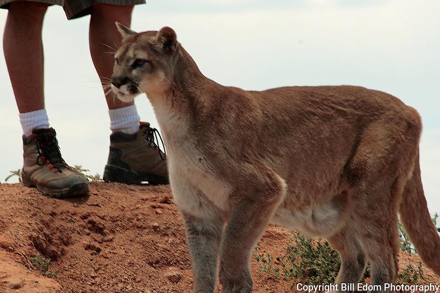Portrait of a Cougar.