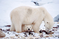 polar bear mother and cub, Ursus maritimus, Churchill, Hudson Bay, Manitoba, Canada ( Atlantic/ Arctic ), polar bear, Ursus maritimus