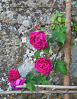 "Rosa ""Ards Rover"" growing against an ancient stone wall below the gardens of the Villa Massei"