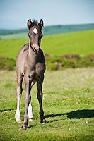 Portrait of Welsh mountain pony foal, Hay Bluff, Wales