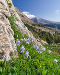 Columbine above Wild Basin, Rocky Mountain National Park, Colorado, USA
