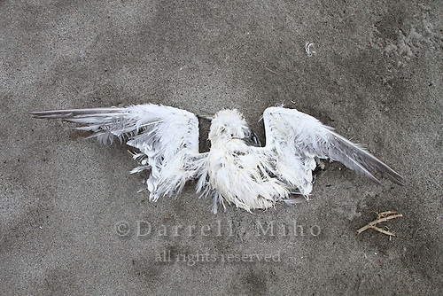 June 12, 2011, Rikuzentakata, Iwate Pref., Japan - A dead bird lies in the sand on the coast of Rikuzentakata three months after the magnitude 9.0 Great East Japan Earthquake and Tsunami that devastated the Tohoku region of Japan on March 11, 2011.