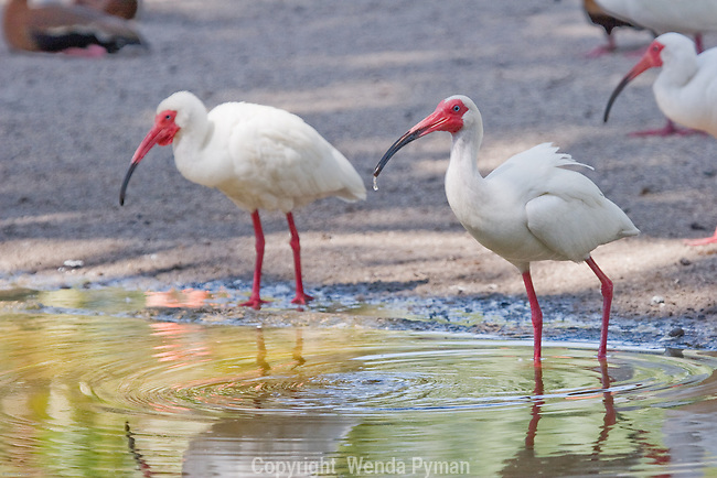 The White Ibis is the most numerous of the wading birds in Florida and tend to feed in groups.