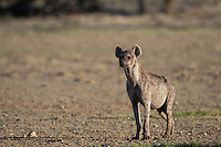Spotted hyena standing tall