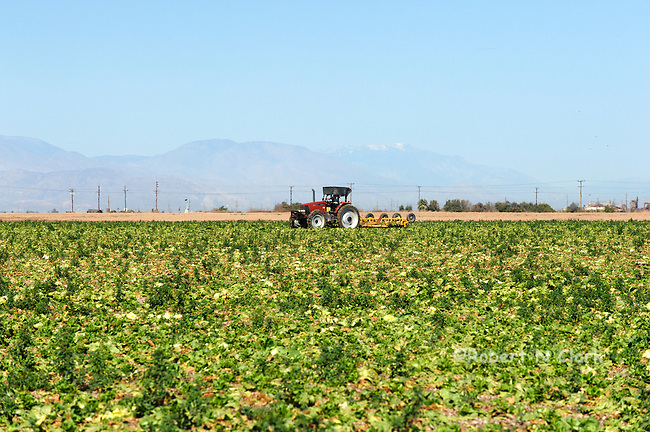 Tractor at work in a harvested lettuce field