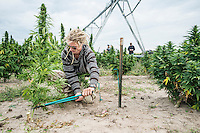 Zachary Sobol (cq) harvests industrial grade hemp at the Stanley Brother's farm of Charlotte's Web near Wray, Colorado, Monday, September 22, 2014. The Stanley Brothers have developed a popular strain of marijuana that has been found to be helpful in reducing seizures. The marijuana high in CBDs and low in THC, the chemical which gets a person stoned.<br /> <br /> Photo by Matt Nager