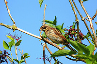 Rohrammer, Rohr-Ammer, Rohrspatz, Weibchen, Emberiza schoeniclus, reed bunting, common reed bunting, female, Le Bruant des roseaux