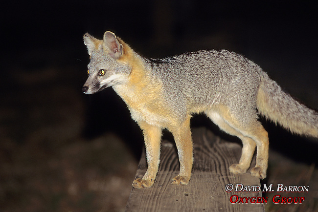 Gray Fox At Night
