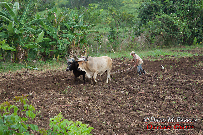 Older Farmer Working Field With Oxen