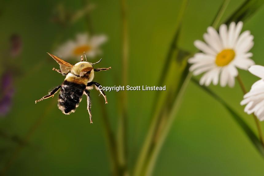 a bumblebee in flight