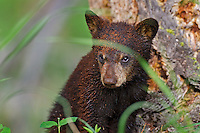 "Wild Black Bear (Ursus americanus) cub.  Western U.S., spring. (This is what is known as a ""coy""--cub of the year.)   Covered with rotting wood (like sawdust) from a stump it has been playing on/around."