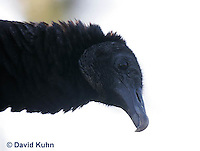 0111-0954  Black Vulture, Detail of Head and Beak, Coragyps atratus  © David Kuhn/Dwight Kuhn Photography