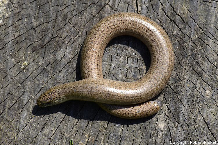 Slowworm, Anguis fragilis, basking in sunshine to get warm, Monkton Nature Reserve, Kent UK,legless lizard