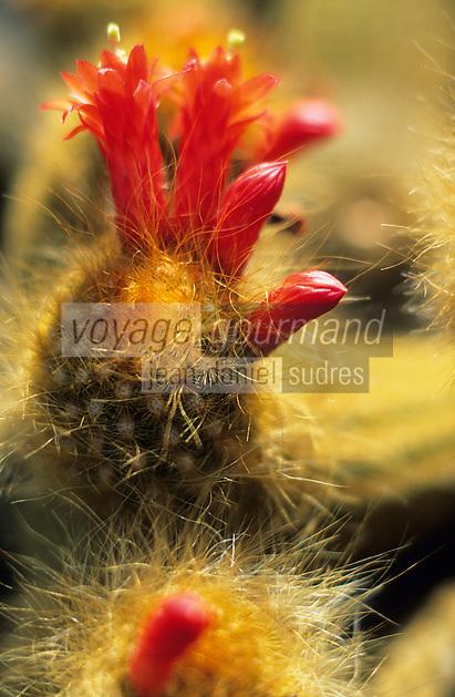 Europe/Espagne/Canaries/Lanzarote/Guatiza : Le jardin de cactus conçu par Cesar Manrique - Seticereus icosagonus