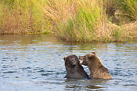 Brown bears play fight in the Brooks River, Katmai National park, southwest, Alaska.