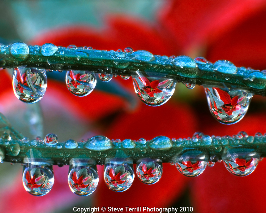 Poinsettias reflecting in dewdrops clinging to grass