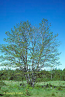 TT12-046z  Red Maple - spring with new leaves - Acer rubrum