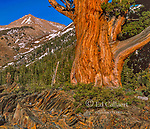 Incense Cedar, Calocedrus decurrens, Rainbow Peak, Mineral King, Sequoia National Park, California