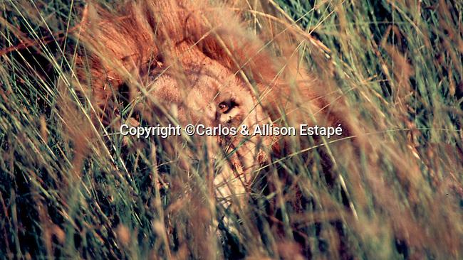 African Lion in the bush, Masai Mara, Kenya