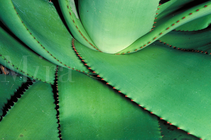 close-up portrait of aloe plant in botanical garden. medicinal plant, botany, green, symmetry. California.