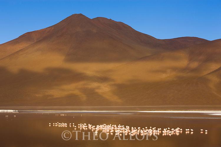 Bolivia, Altiplano, group of James' flamingos (Phoenicoparrus jamesi) in Laguna Colorada