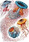Discomedusae (Jellyfish), by Ernst Haeckel, 1904