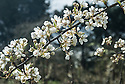 """Blossom of Pear 'Louise Bonne of Jersey', mid March. Also known as 'Louise Bonne d'Avranches'. A French pear """"raised about 1780 by M. Longueval at Avranches, Normandy. The English name arose as an error, presumably because it arrived via the Channel Islands. It is an attractive, reliable and good quality pear, heavy cropping (often requiring thinning) and a good garden cultivar. It is moderately vigorous, growing well in all forms."""" ('Pears' by Jim Arbury and Sally Pinhey)"""