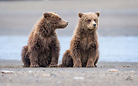 "When you observe bear cubs (any species) for an extended period of time, you start noticing individuals' personality traits.  These two Coastal Brown Bear (Ursus arctos) cubs were hanging out while their mother fished the shallows for salmon.  After a nap, they got up on their hindquarters.  Here the ""happy"" cub on the left seems to have annoyed the ""grumpy"" cub on the right.  Dispositions of infants change quickly, though, and after a moment of stink eye, they were running and playing together again.  Lake Clark National Park, Alaska."