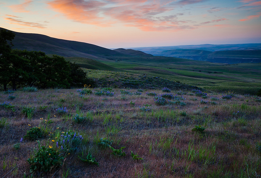 Lupine flowers and Balsamroot flowers cover the ground during a pastel-colored sunrise at the Columbia River Gorge in Washington State.