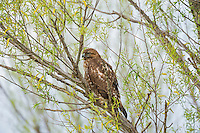 Juvenile Red-tailed Hawk (Buteo jamaicensis).  California.  Spring.