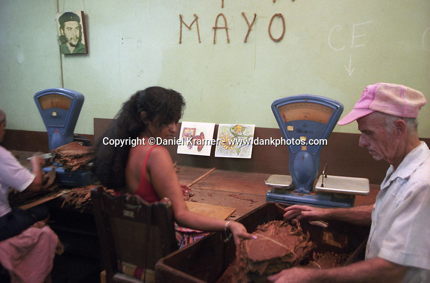 At a tobacco factory in Havana a woman weighs a packet of tobacco leaf.