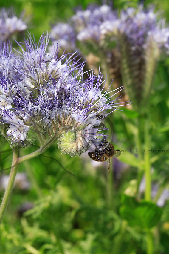 Bee on a Phacelia flower. The plant flowers from July to September. Phacelia is considered as one of the flowers producing the largest amounts of nectar. This forage plant can be over 80 centimeters tall. It is used as green manure.