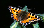 Small Tortoiseshell Butterfly, Aglais urticae, adult with wings open.United Kingdom....