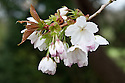 Blossom of Prunus 'Taihaku', sometimes called the great white cherry, early April. Sarah Raven writes about the tree at the west end of King's College Chapel in Cambridge: http://www.telegraph.co.uk/gardening/4793332/In-focus-Prunus-Taihaku.html.