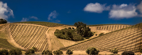 Rows of springtime grapevines at a vineyard near Paso Robles, California