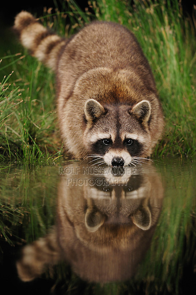 Northern Raccoon (Procyon lotor), adult at night drinking from wetland lake, Fennessey Ranch, Refugio, Coastal Bend, Texas, USA