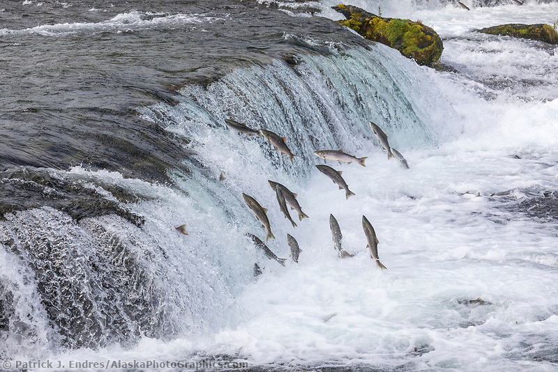 Red salmon migrate up the Brooks River and leap up the Brooks Falls, Katmai National Park, Alaska.